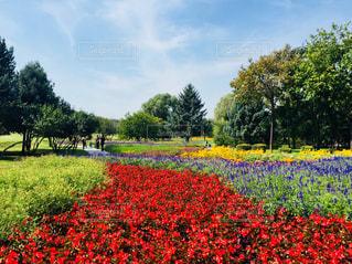 フィールドに赤い花の写真・画像素材[1465091]