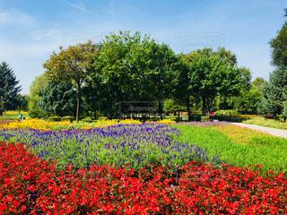 カラフルな花が咲いていた中国 ハルピンでの1枚♪の写真・画像素材[1537395]