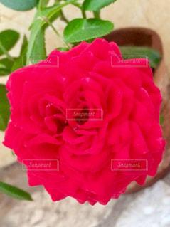 色鮮やかなバラの大輪♪の写真・画像素材[1537412]
