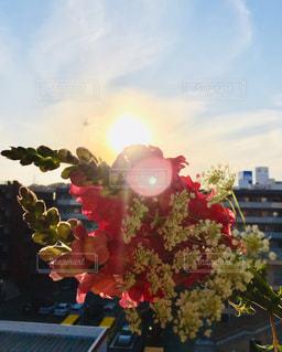 夕日に照らされた金魚草の花束🌺の写真・画像素材[2060263]