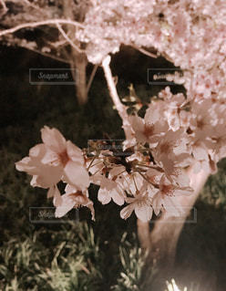 桜,ピンク,夜桜,花びら,満開,ライトアップ,千葉県,佐久間ダム