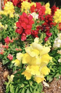 花,春,旅行,江ノ島,江の島
