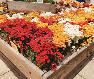花,春,旅行,花壇,江ノ島,江の島