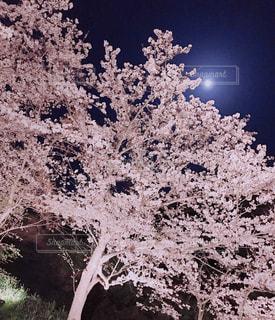 春,桜,夜桜,月,ライトアップ,佐久間ダム