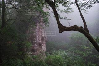 霧の中の縄文杉 - No.787822