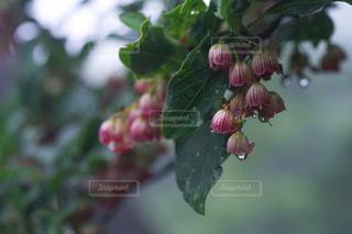 雨の中のドウダンツツジ - No.820040