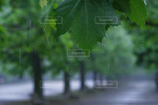 雨のプラタナス並木 - No.820060