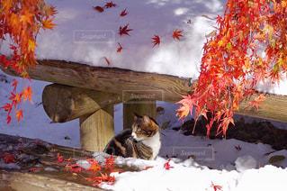 雪見紅葉と猫の写真・画像素材[841715]