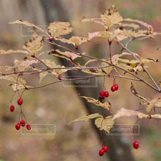 赤い実の写真・画像素材[884644]