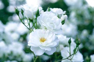 近くの花のアップの写真・画像素材[908982]