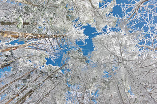 雪の木 - No.909071