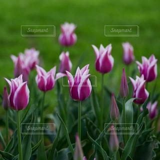 花,植物,チューリップ,満開,昭和記念公園