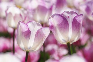 花,植物,チューリップ,爽やか,アップ,昭和記念公園,清楚,クローズアップ