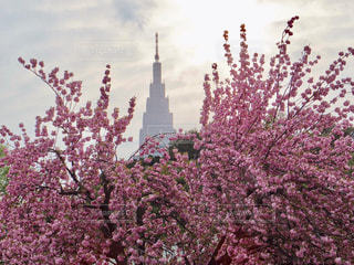 満開の桜の写真・画像素材[1131245]