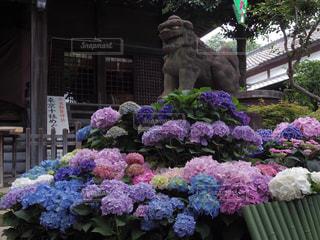 白山神社のあじさい祭りの写真・画像素材[1131250]