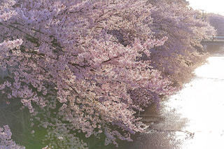 石神井川の桜並木の写真・画像素材[1147244]