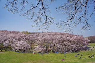 桜の山と芝生広場の写真・画像素材[1147247]