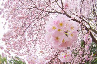 満開の桜の写真・画像素材[1147249]