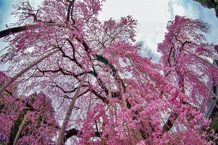 慈雲寺の枝垂れ桜の写真・画像素材[1147262]