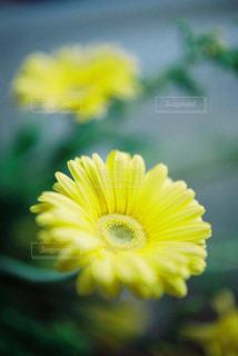 ガーベラのアップの写真・画像素材[1269412]
