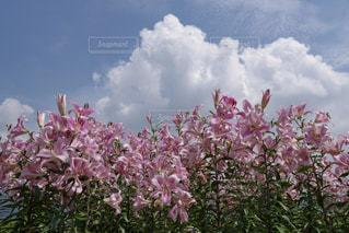 花,夏,屋外,ピンク,植物,入道雲,満開,爽やか,真夏,百合,夏空,河口湖,カサブランカ,ユリ,夏日,大石公園