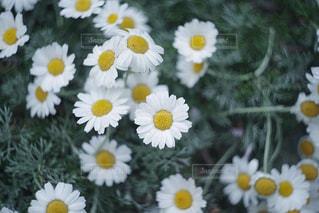 花,春,屋外,白,ホワイト,オールドレンズ,群生,練馬区,ノースポール,ヘリオス,ホワイトカラー