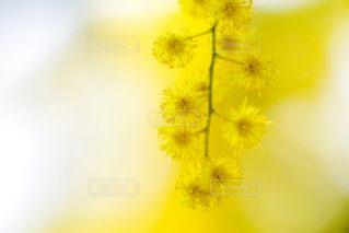 自然,花,黄色,ミモザ,代々木公園,カラー,黄,クローズアップ,アカシア,yellow,余白,マクロ