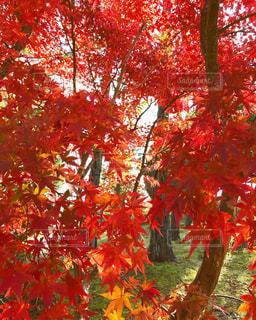 木の赤い花の写真・画像素材[848609]