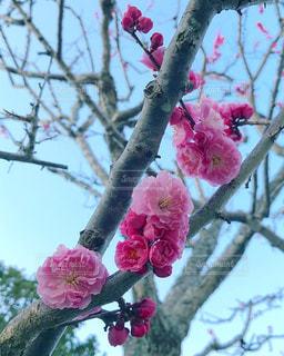 梅の花。の写真・画像素材[1089703]