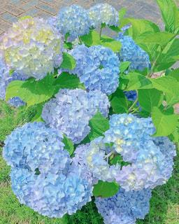 花,綺麗,あじさい,紫陽花,6月