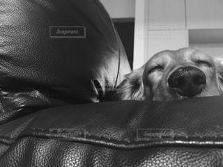 横になって、カメラを見ている犬 - No.814376