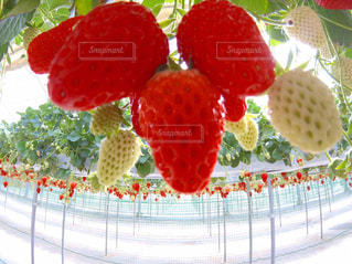 イチゴのお尻♡の写真・画像素材[928018]