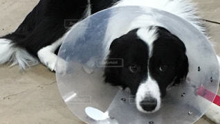 地面に横たわって白と黒犬の写真・画像素材[733361]