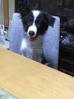 テーブルに座っている犬の写真・画像素材[736387]