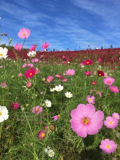 フィールドのカラフルな花のグループの写真・画像素材[1115915]