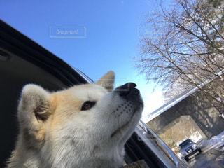 車の窓の外見ている犬の写真・画像素材[1115968]