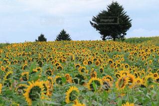フィールド内の黄色の花の写真・画像素材[1119661]