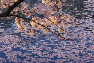 弘前城の写真・画像素材[1125198]