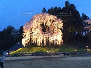 合戦場のしだれ桜の写真・画像素材[1127754]