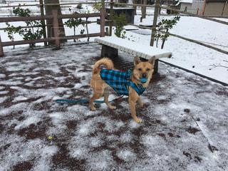 雪の中で立っている犬の写真・画像素材[1763415]