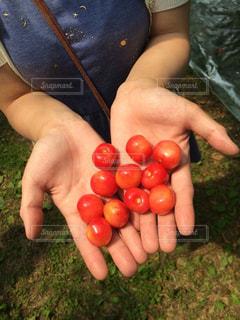 フルーツ,果物,さくらんぼ,チェリー,さくらんぼ狩り