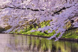 弘前の桜の写真・画像素材[1797358]