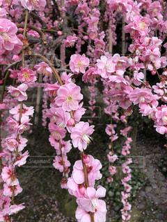 しだれ梅の写真・画像素材[1810895]