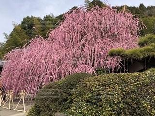 ピンクの花の木の写真・画像素材[1810899]
