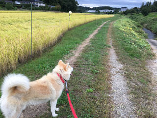 犬,秋,散歩,秋田犬