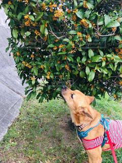 犬,秋,散歩,愛犬,金木犀