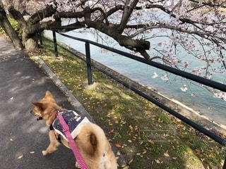 桜道の写真・画像素材[2013368]