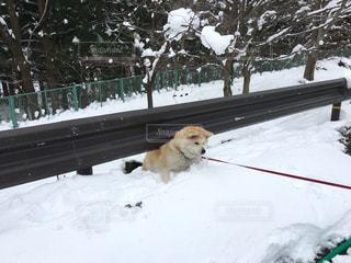 犬,冬,雪,秋田犬,愛犬