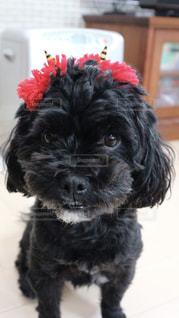 カメラを見て小さな黒い犬の写真・画像素材[1004129]