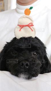 カメラを見て小さな黒い犬の写真・画像素材[1004131]